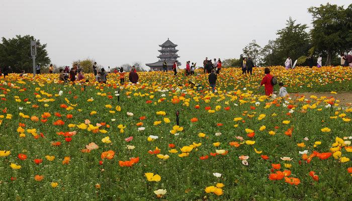 继网红花海园博园的虞美人后 三月三还将有桂林版普罗旺斯