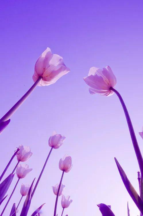 """3月下旬到高新区蓼河湿地公园和杨家河公园赏""""多色""""郁金香喽"""