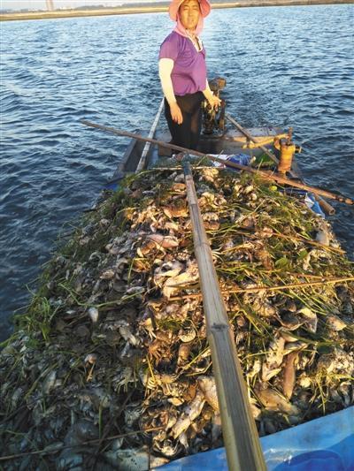 洪泽湖水污染调查:上游泄洪夹带污水